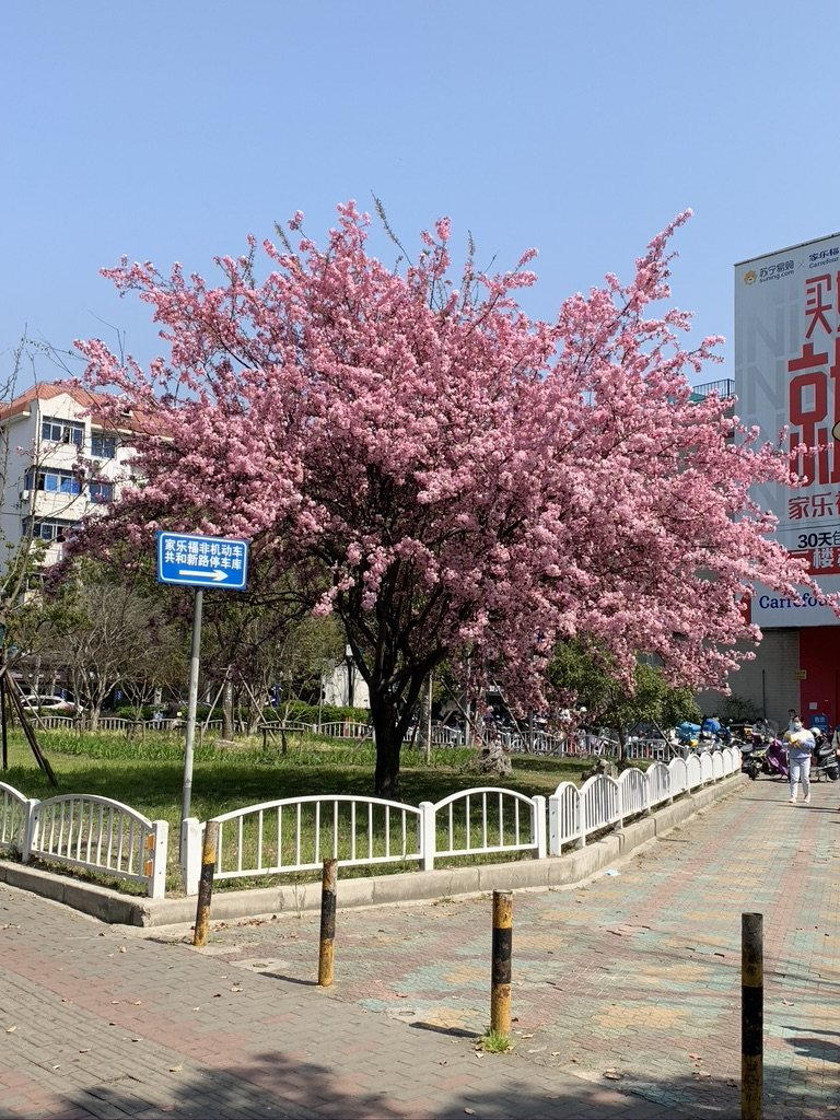 上海的春天开的紫木李